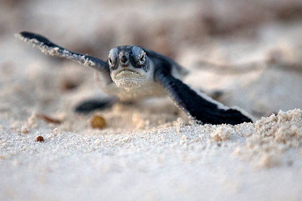 Green turtle hatchling going to the ocean