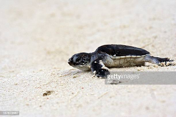 Green turtle hatchling Heron Island CapricornBunker Group Great Barrier Reef Queensland Australia