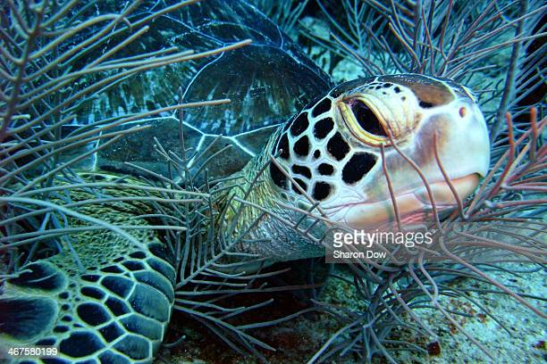 Green Turtle I photographed while scuba diving on a dive site called Asta Barbados