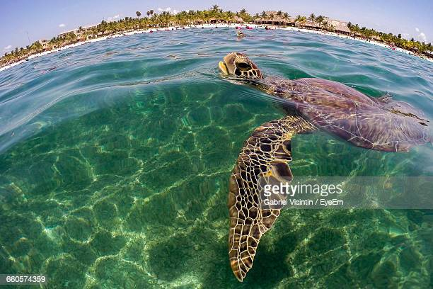 Green Turtle Inhaling While Swimming In Sea
