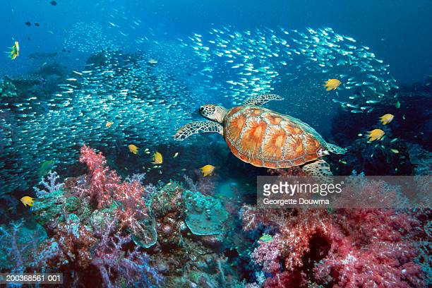 Green turtle (Chelonia mydas) over coral (Digital Composite)