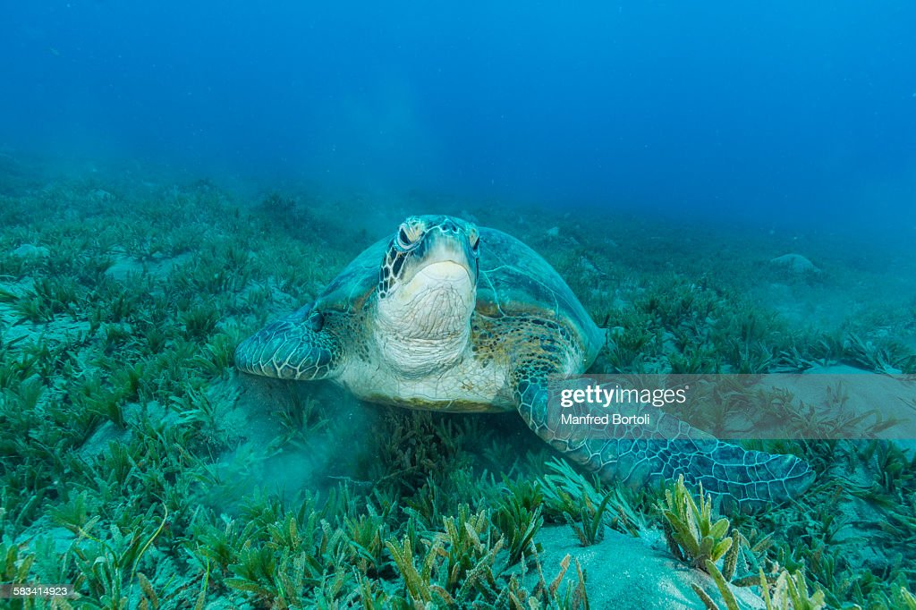 Green turtle over sea grass area looking at camera : Stock Photo