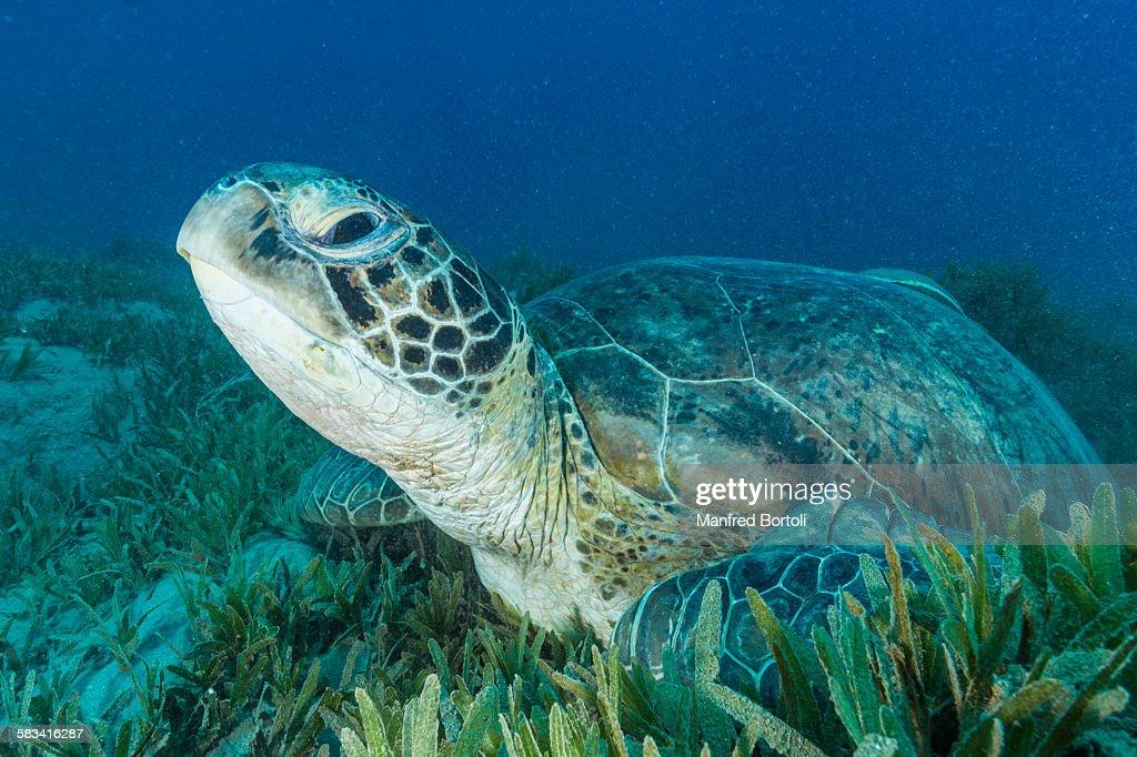 Green turtle over sea grass area : Stock Photo
