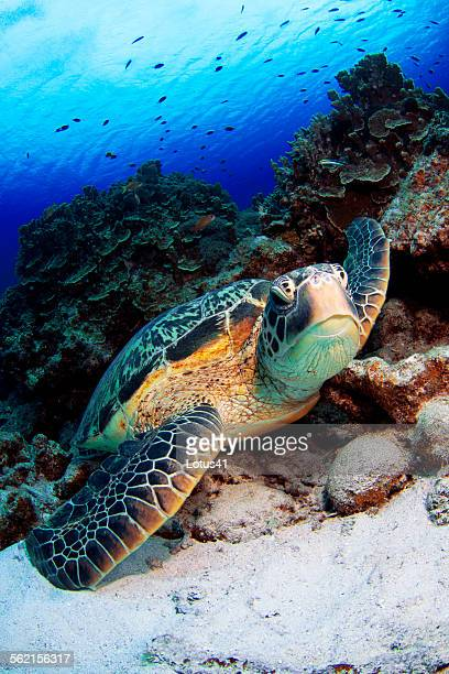 green turtle - green turtle stock pictures, royalty-free photos & images