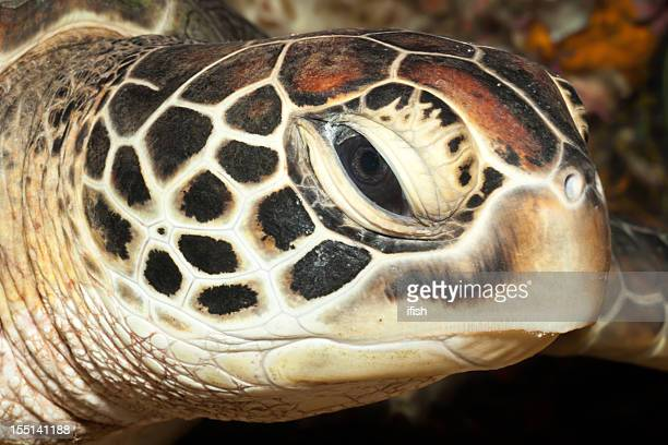 green turtle portrait at bunaken island, north sulawesi, indonesia - snavel stockfoto's en -beelden