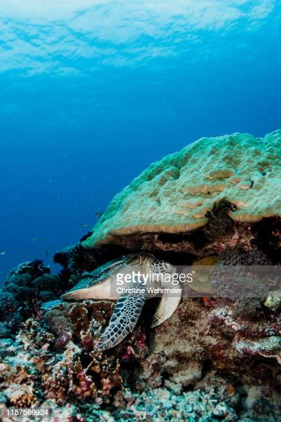 green turtle resting under a coral - christine wehrmeier stock pictures, royalty-free photos & images