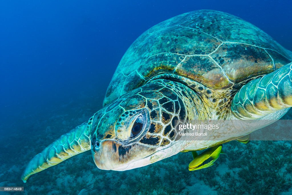 Green turtle swim in front of the camera : Stock Photo