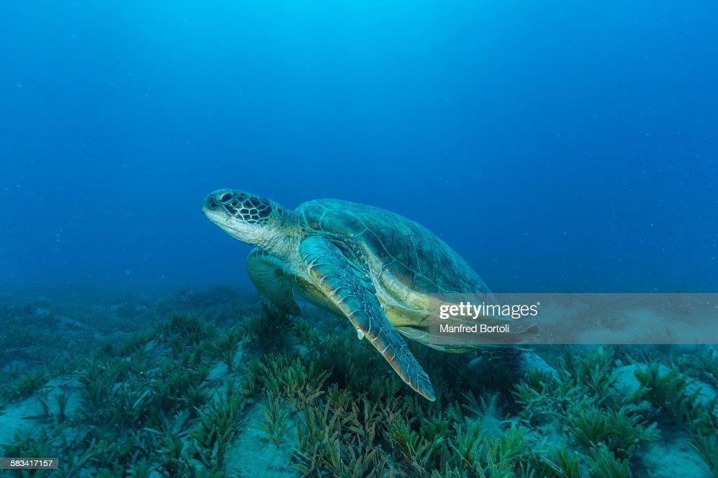 Green turtle swim over sea grass area : Stock Photo