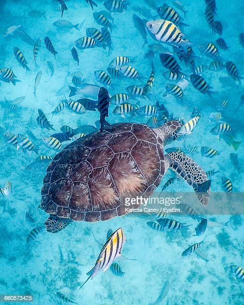 Green Turtle Swimming Amidst School Of Fish In Sea