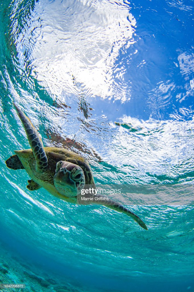 Green turtle swimming in a ocean : Stock Photo