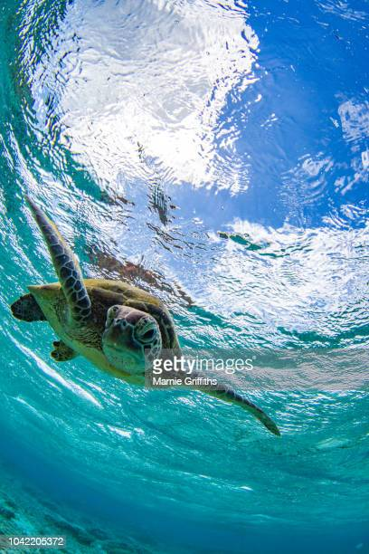 green turtle swimming in a ocean - green turtle stock photos and pictures