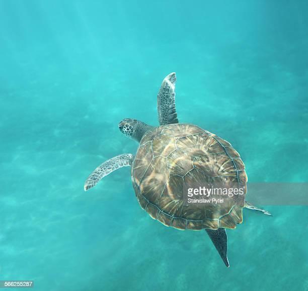 Green turtle swimming in ocean