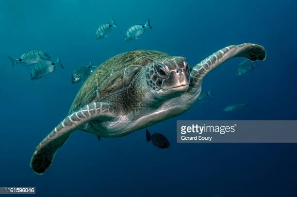 a green turtle swimming in open water - animals in the wild stock pictures, royalty-free photos & images