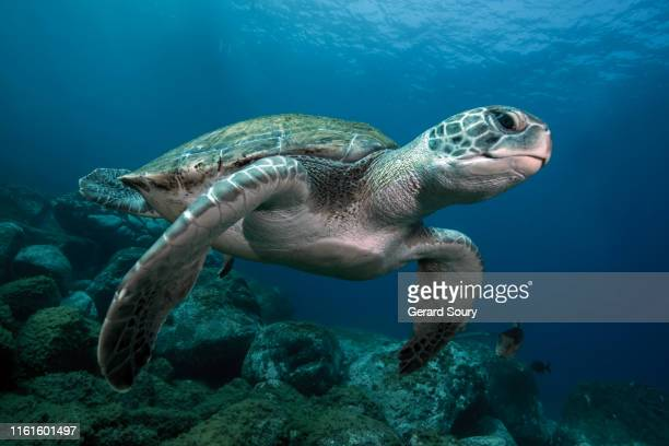 a green turtle swimming in open water - 爬虫類 ストックフォトと画像