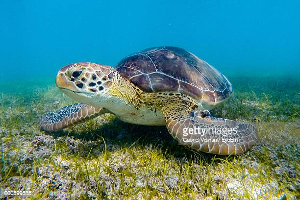 green turtle swimming in sea - green turtle stock pictures, royalty-free photos & images