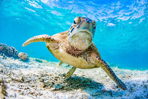 Green Turtle Swimming on the Great Barrier Reef, Queensland, Australia 834997362