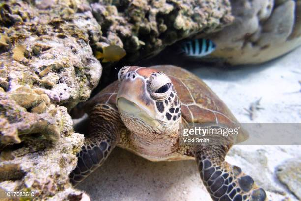 Green Turtle Swimming Over Coral