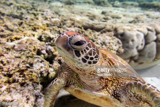 green turtle swimming over coral - green turtle stock pictures, royalty-free photos & images