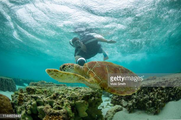 green turtle swimming over coral with person snorkeling - great barrier reef stock pictures, royalty-free photos & images