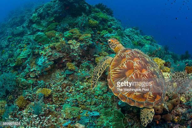 A green turtle swimming over the reef Mabul Island Sabah Malaysia