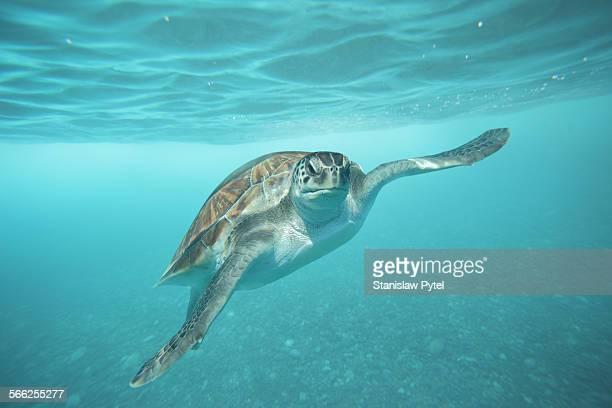 Green turtle swimming underwater in ocean