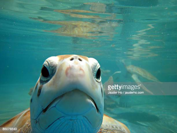 green turtle swimming underwater - isla mujeres ストックフォトと画像