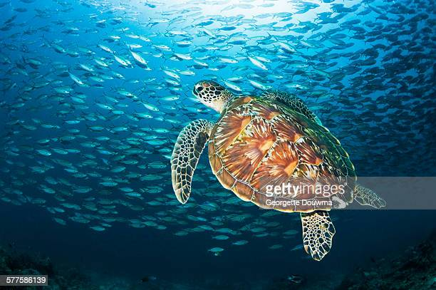 Green turtle with fish school