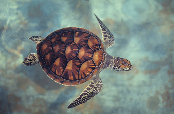 green turtle,chelonia mydas, java, indonesia, indian ocean