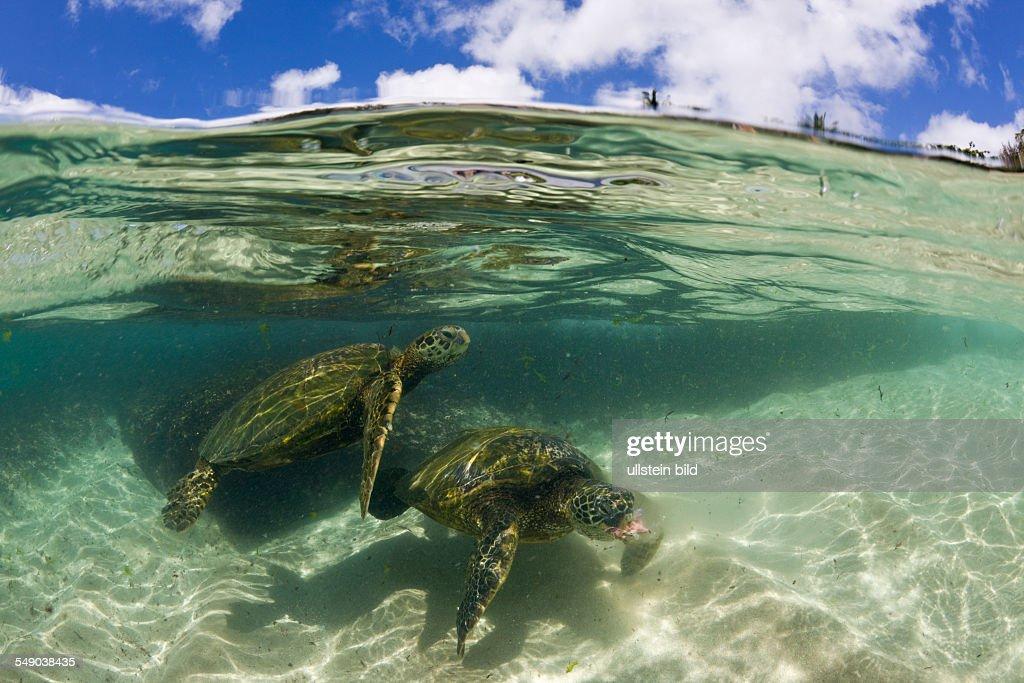 Green Turtles, Chelonia mydas, Oahu, Pacific Ocean, Hawaii, USA