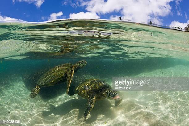 Green Turtles Chelonia mydas Oahu Pacific Ocean Hawaii USA