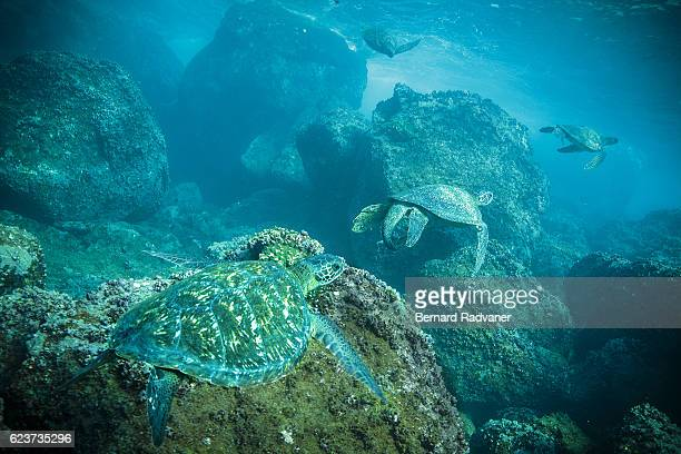 4 green turtles gathering in mating season