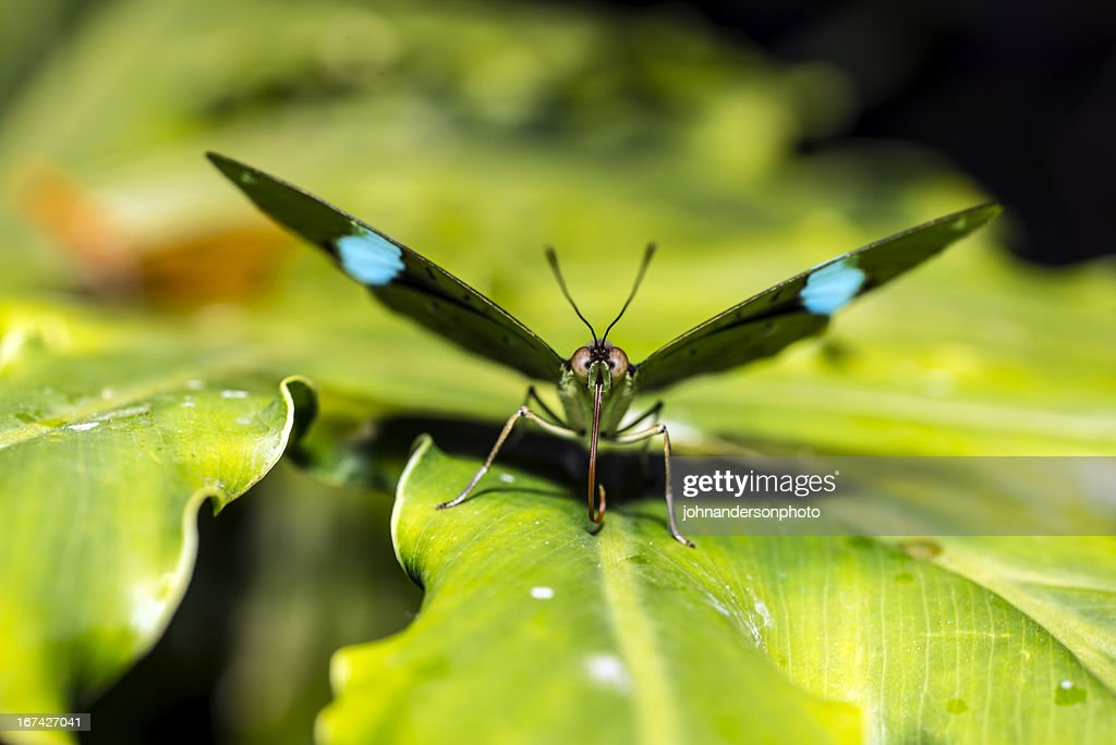 Green Underwing (N. aglaura) Butterfly : Stock Photo