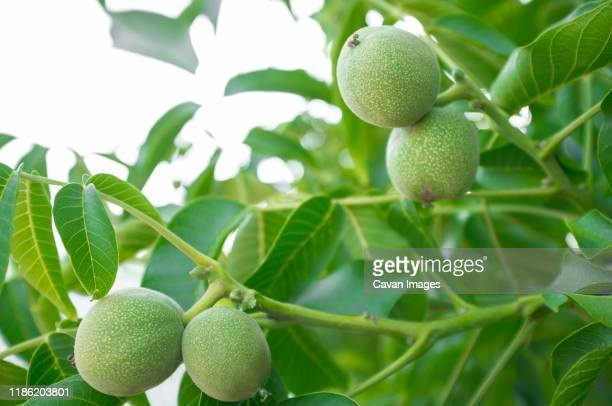 green unripe walnuts growing on a tree - walnut stock pictures, royalty-free photos & images