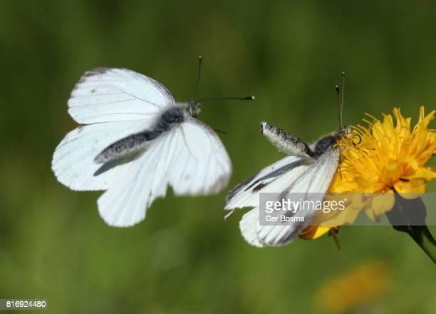 green veined white courtship - tierpaarung stock-fotos und bilder
