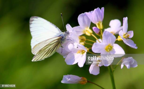 green veined white on a cuckooflower - milk maid stock photos and pictures