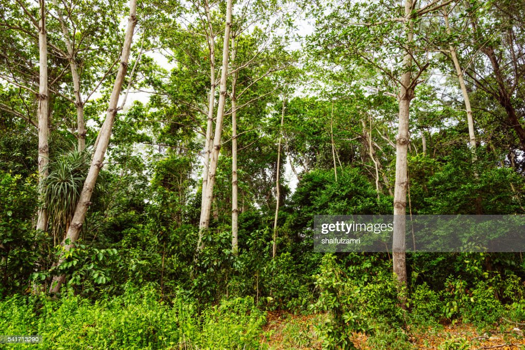 Green View Of The Forest In Sibu Island Of Johor Malaysia Stock