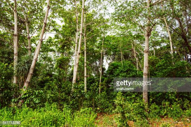 green view of the forest in sibu island of johor, malaysia - shaifulzamri stock pictures, royalty-free photos & images