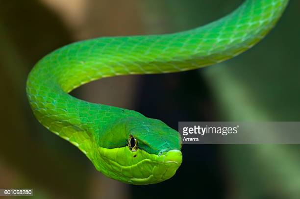 Green vine snake / flatbread snake arboreal colubrid snake native to Central America and northern South America