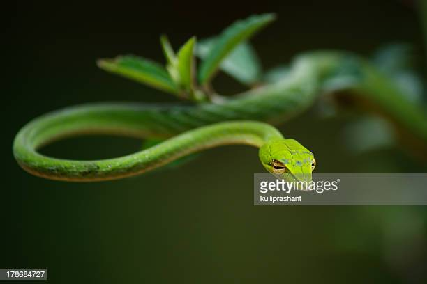 Green Vine Snake hanging on a plant at Agumbe