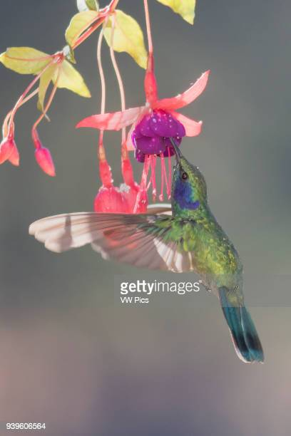 Green Violetear Hummingibrd flying and feeding at a flower Costa Rica