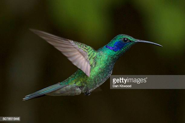 Green Violetear is pictured at a Hummingbird feeding station on January 07 2016 in Monteverde Costa Rica Of the 338 known species of Hummingbird...