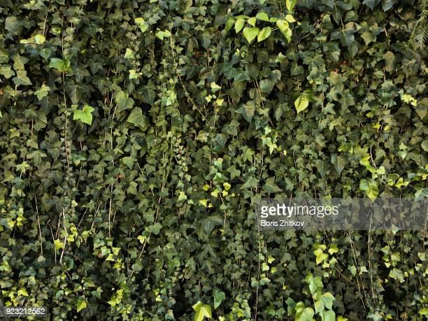 green wall - edera foto e immagini stock
