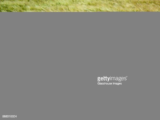 Green Wheat Field Blowing in Wind