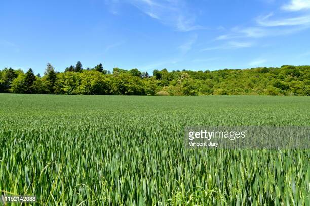 green wheat field france - ille et vilaine stock pictures, royalty-free photos & images
