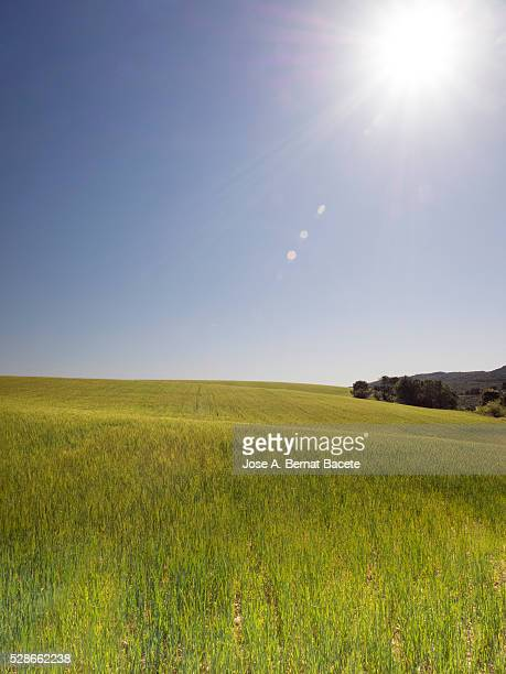 Green wheat field illuminated by sunlight