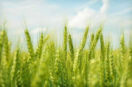 Green wheat field swaying in the breeze under a blue sky 182719058