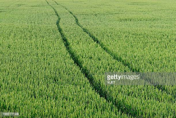 green wheat field with tractor tracks - unripe stock photos and pictures