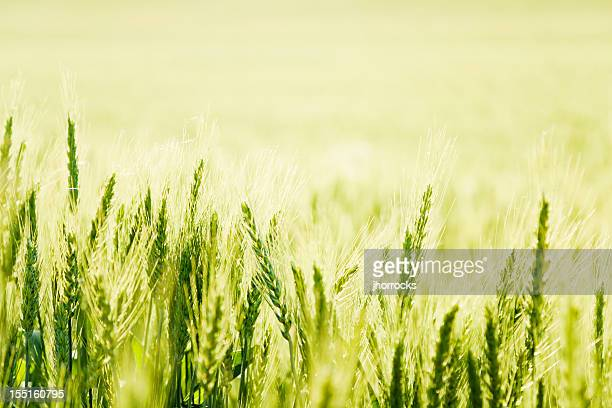 Green Wheat in Golden Sunlight