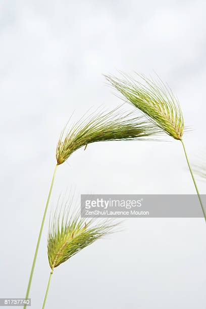 Green wheat, low angle view