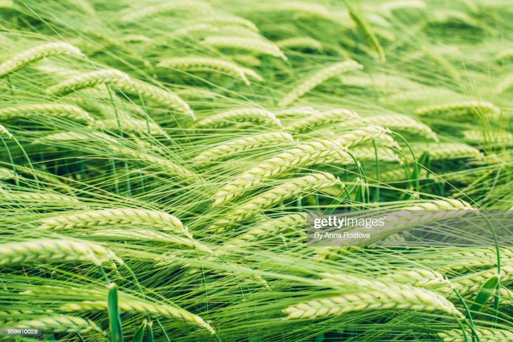 Green wheat spikes in spring : Stock-Foto